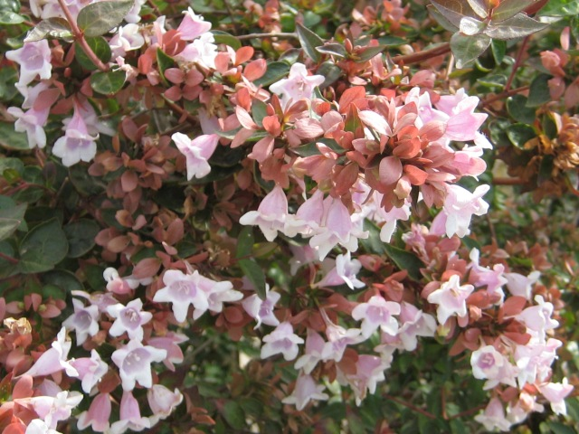 Pink Flowered Bush
